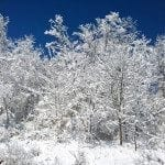Image of several snow-covered trees