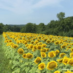 Image showing hundreds of sunflowers in a field with large green trees in the background