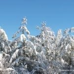 Snow covered evergreen trees with a blue sky in the background.