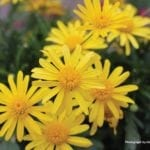 Close up picture of bright yellow flowers.