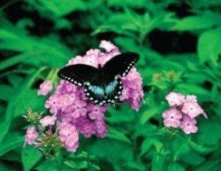 A black & blue butterfly on light purple flowers surrounded by green leaves.