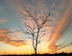 bare tree silhouette with an orange and blue sky filled with wispy clouds