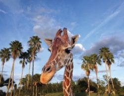 giraffe head and neck surrounded by palm trees and a blue sky