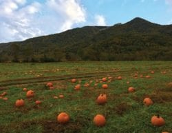 pumpkin patch with mountains in the background